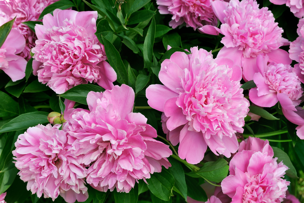 Bouquet of fresh pink peonies